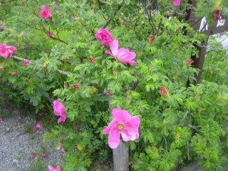Rosa rugosa (Japanese rose)