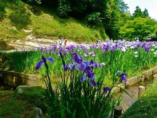 Iris garden behind the main hall