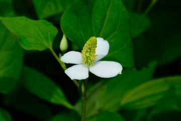 Dokudami flower (lizard's tail)