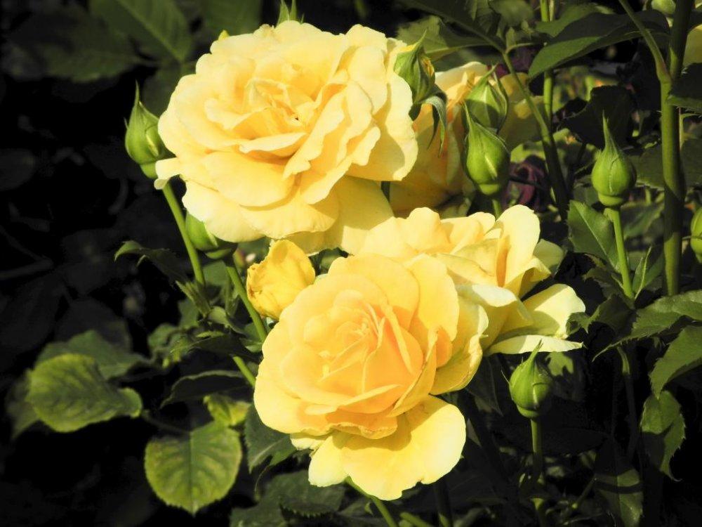노란 장미
