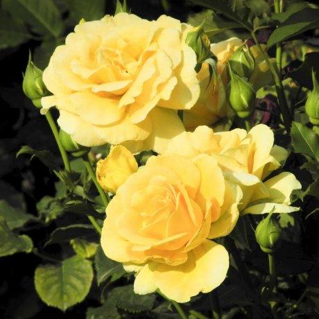 ดอกไม้ในสวนชินจุกุ เกียวเอ็น