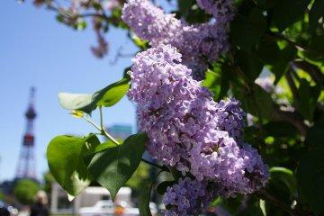 Sapporo in full bloom