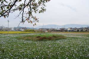 Fields of hyacinths around the earthen mound where once a pagoda stood