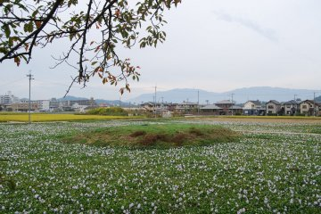 Fields of hyacinths around the earthen mound where once a pagoda stood
