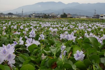 Fields of hyacinths in a quiet neighbourhood