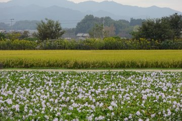 Flower fields, rice fields and sacred mountains