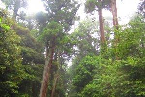 Gigantic trees frame the pathways of Kashima Shrine