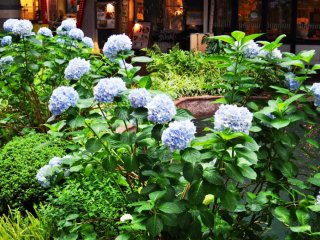 Khi tôi đến đây thì đang vào mùa hoa tú cầu nở. Khu vườn được chăm sóc rất cẩn thận