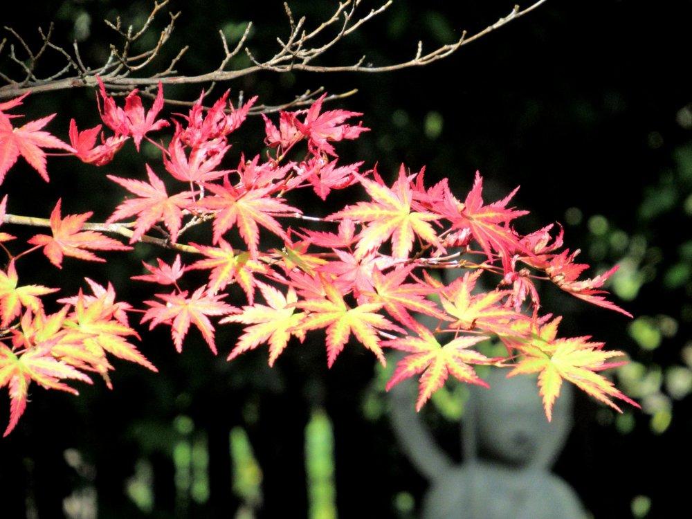 Осенние цвета клёна момидзи