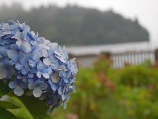 Hydrangea were still in bloom