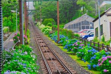 Hakone Tozan Line during Hydrangea Season