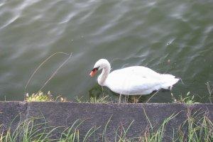 Лебедь в канале