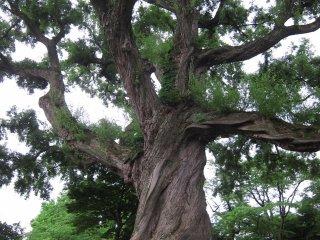 공원 중앙에 오래된 나무 가지를 뻗은체 자리를 잡았다