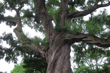 Age old tree sits on the center of the park, spreading its branches out into the open