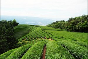 Tea fields in the mountain