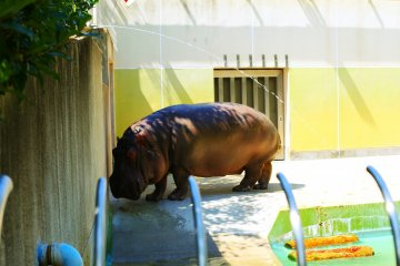 Feeling pretty jealous of the Hippopotamus with its swimming pool in the summer sun!