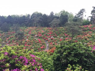 The hillside looks like something from a picture book when the azaleas are in bloom