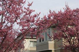 Сакура в Токио в конце марта