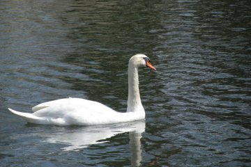 Лебедь в водоёме вкруг замка