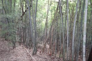 "During your hike, you will suddenly come upon a bamboo grove and then a scattering of bamboo grass. This will definitely make you feel ""Hey! I'm in Japan!"""