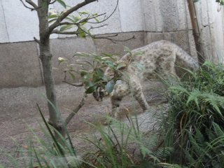 The elusive Amur Cat is one of the most popular animals at Inokashira Park Zoo.