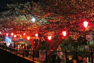 Ночная сакура в Тоцуке