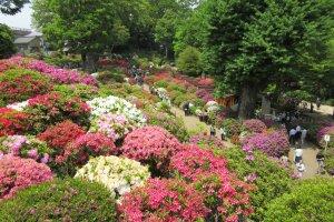 Сотни цветущих кустов в начале мая