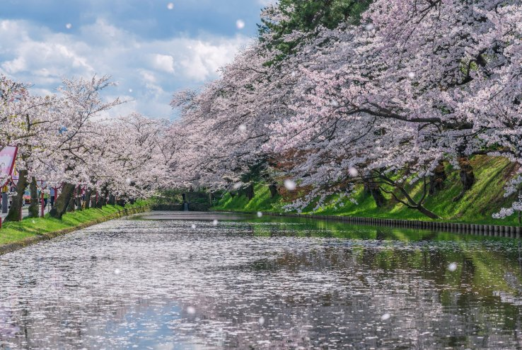 Cherry Blossom Guide Flower Types Things To Do Japan Travel