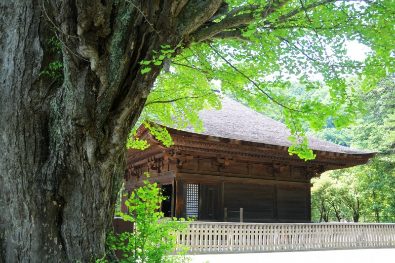 An ancient tree and Shiramizu Amida-do