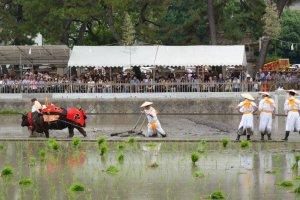 Na primeira parte do festival, os bois de água e algumas pessoas passam pelo campo um arado de maneira