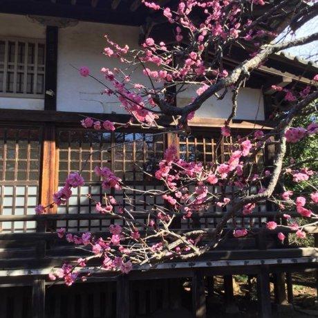 Pohon-pohon Plum Taman Shimizu