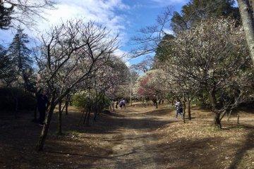 The plum grove