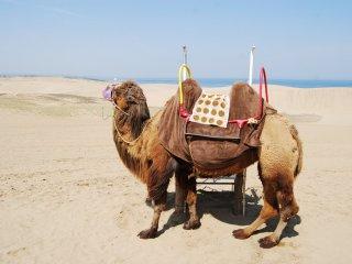 Lạc đà trên đồi cát