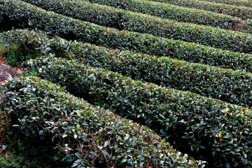 Shizuoka's Green Tea
