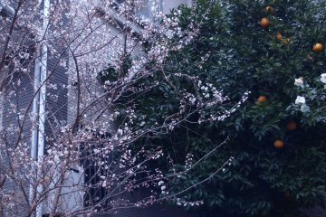 Buds and blossoms, roses and the fully-ripened hassaku oranges exist mutually in the little garden.
