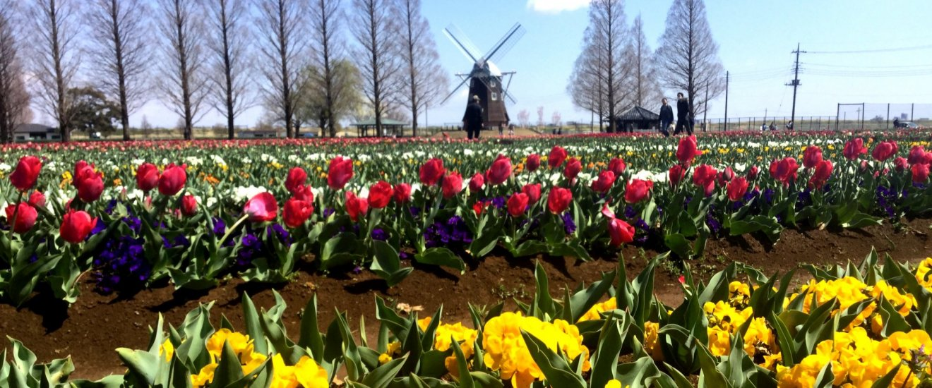 You might wonder where you are when you see tulipsand a windmill