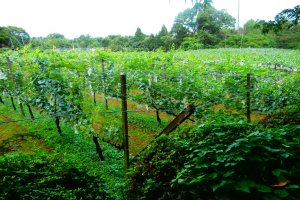 The vineyard of Kyoho grapes and some other fruits