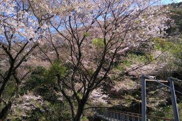 Sakura path on Otonashi