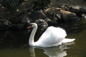 Лебедь в Мацумото