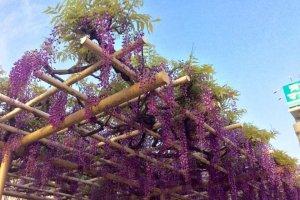 """Cascades of blossoms line """"Fujidori"""", Wisteria Street"""