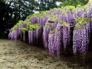 This variety of wisteria can have trailing blooms over two meters long