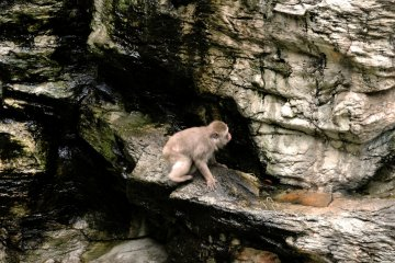 This macaque was doing a bit of rock climbing