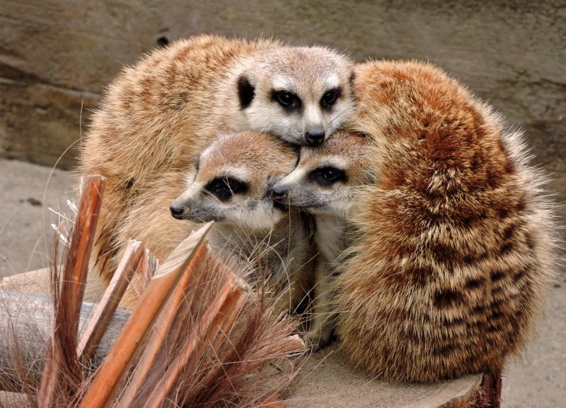 A huddle of meerkats