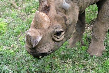 A placid rhino