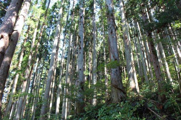 В лесах вокруг храма Курама живут духи Тэнгу