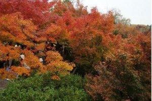 满山的红叶
