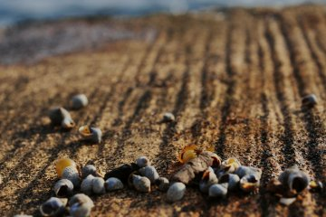 The waves filled the shore with tiny sea snails.