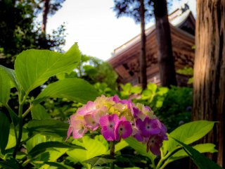 Soon after passing by the main gate, (the Sanmon) you begin to see some of the first hydrangeas