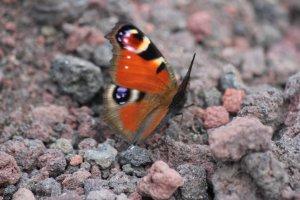 Con bướm đầy màu sắc và núi Phú Sĩ vào mùa hè