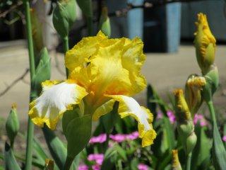 A gorgeous iris